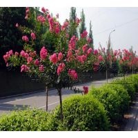 小区绿化苗4公分直径紫薇树价格
