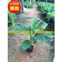 贵州安龙县册亨县大型二级西贡蕉苗场丨大量发货供应西贡蕉苗丨巴西香蕉苗丨