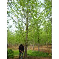 精品胸米径25公分银杏树价格低量大上货快25cm实生银杏树-邳州天露苗圃