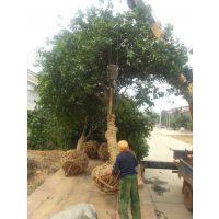 原生香泡树10公分13公分15公分价格 湖南逸彩园林