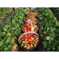法兰地草莓苗 泰东园艺场常年培育各种草莓苗
