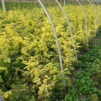 常年批发金叶水杉 彩叶新品种 量大优惠 园林绿化苗木 欢迎来电咨询