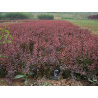 供应供应灌木苗红叶小檗色块苗红叶小檗彩色苗木红叶小檗紫叶小檗