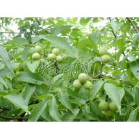四川薄壳核桃种子包发芽野生核桃砧木种子包技术铁核桃种子