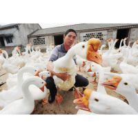 亳州孵化场-亳州种鹅养殖-亳州鹅苗批发
