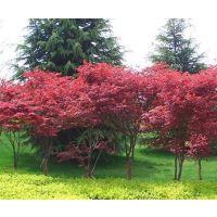 出售红枫小苗高度0.5-1.5米