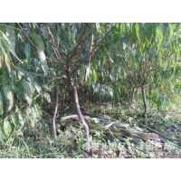 桃树苗批发 晚熟桃树苗品种 1米高嫁接桃树苗