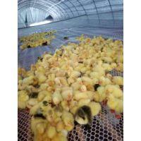鹅苗批发,鸡苗批发,鸭苗批发,家禽养殖咨询,湖北鹅苗孵化基地---西洼家禽孵化场