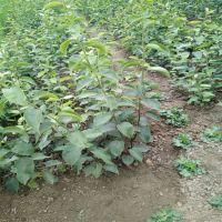 批发出售水果种苗梨树苗 山东梨树苗价格 梨树苗种植基地