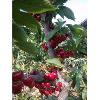 供应优质含香樱桃树苗 含香樱桃树苗包成活