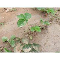 泰安龙泽苗木(图),白草莓苗品种,哈密白草莓苗