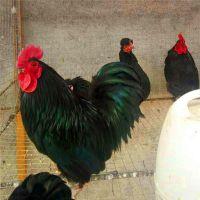 元宝鸡出售观赏鸡养殖出售全国供货