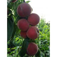 占地用桃树苗批发 建园桃树苗新品种 蓬仙十三桃树苗基地