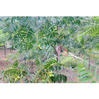 供应胸径2-15公分美国山核桃树