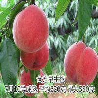 极早518桃树苗 什么时候种 科学管理 厂家批发 怎么培育