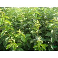 纯种品质树苗 优质宇涵园艺柿子树 红叶映碧流