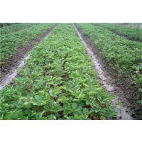 抗病极强的妙香七号草莓苗 优质牛奶草莓苗价格 山东草莓苗批发商