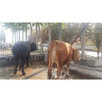 鲁西黄牛|万隆牧业|鲁西黄牛养殖