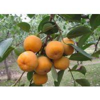 供应柿子苗:次郎、富有、合柿、牛心柿、兴津20、西村早生