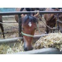 阿拉伯马,梁山县阿拉伯马养殖基地年外调拨马匹数千匹