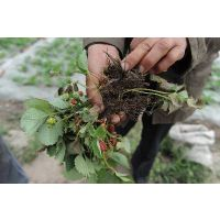 红颜草莓苗 甜宝草莓小苗 甜查理草莓苗 大棚种植白草莓小苗 现货