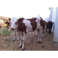 嘉祥明泰鲁西黄牛的生产性能