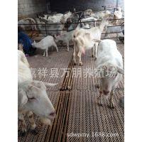 2015奶山羊养殖怎么样、奶山羊前景、万朋养殖场提供产奶的山羊、