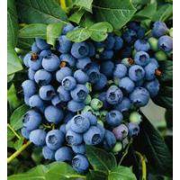 江苏可以栽的蓝莓苗品种/适合江苏的蓝莓品种/蓝莓苗价格