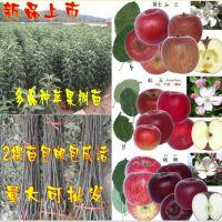 果树苗木 苹果树苗 盆栽地栽 当年结果 南北方种植红富士黄香蕉