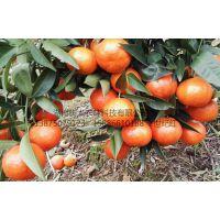 30-70公分世纪红柑橘苗价格 哪里世纪红苗正宗