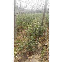 蓝莓苗种植技术 果树苗种植技术