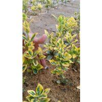 金冠黄杨|金镶玉黄杨(图)|金冠黄杨生长速度