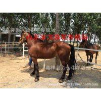 纯种矮马价格,马多少钱一匹,矮马苗养殖,矮马,宠物马