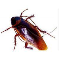 绿巨人专业灭蟑公司、朝阳区灭蟑螂、家庭灭蟑螂