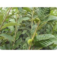 板栗苗种植方法 板栗苗种植技术 泰安润佳农业