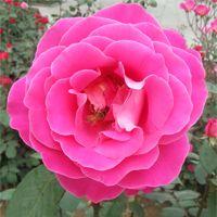 基地批发 优质大花月季 品种月季苗 扦插月季花苗 多品种