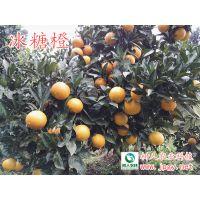 冰糖橙类新产品锦蜜冰糖橙 产量高 效益好
