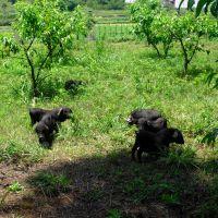 纯种从江小香猪苗 原生态散养黑毛猪 从江香猪种猪批发-860元/只