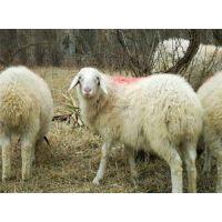 万隆畜牧养殖(图)_肉羊交易市场_菏泽肉羊