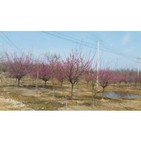 安徽合肥哪里有红梅出售?肥西红梅地径2-10公分价格图片
