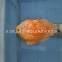 渔场热带鱼观赏鱼之上色10-12公分地图鱼猪仔鱼限量批发