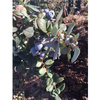 壹棵树提供营养杯蓝莓树苗 品种纯正 量大从优 效益高 成活率96%