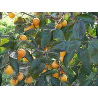 山东柿子树苗大量供应包成活当年结果