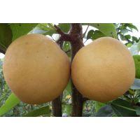 秋月梨树苗,晚熟梨树苗品种