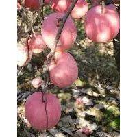 供应陕西大荔膜袋红富士苹果基地晨阳苹果价格金世纪苹果行情产地销售