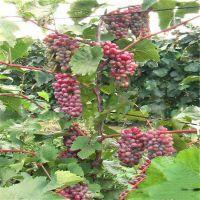 葡萄苗特价出售 泰安基地常年供应优质嫁接夏黑葡萄苗 规格齐全提供技术支持