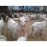 山羊品种价格山羊养殖效益购买山羊