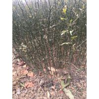 低价出售枸橘苗 湖北枸桔原生苗 可做篱笆用的橘子树苗批发价格
