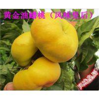 当年风味皇后桃苗|两公分映霜红桃苗价格|黄金油蟠桃苗批发商