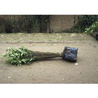 大红袍花椒苗种植管理技术 花椒苗亩产量是多少